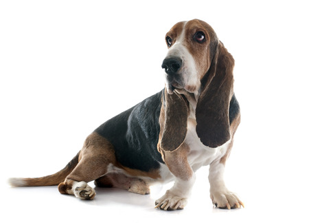 bloodhound: basset hound in front of white background