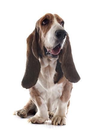 hound: basset hound in front of white background