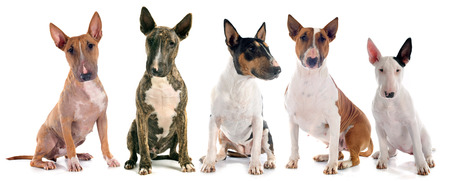 alertness: group of  bull terrier in front of white background