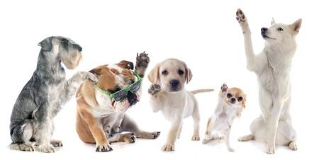 five dogs say hello in front of white background