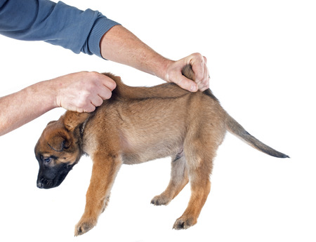 puppy malinois in front of white background photo