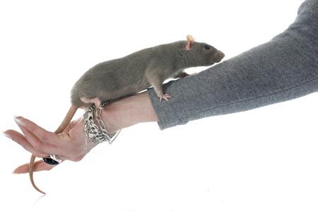 rata: rata gris delante de fondo blanco