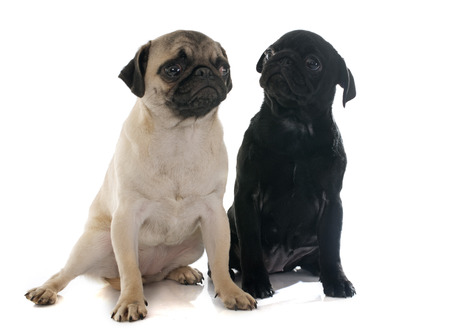 carlin: puppies pug in front of white background