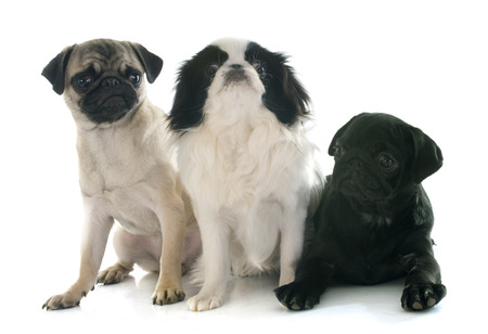 carlin: puppy pug and japanese chin in front of white background