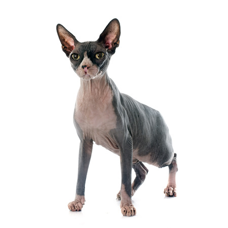hairless: Sphynx Hairless Cat in front of white background