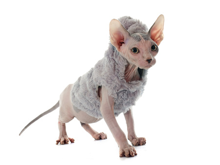 hairless: dressed Sphynx Hairless Cat in front of white background