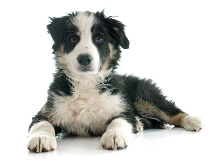 sheepdogs: puppy border collie in front of white background Stock Photo