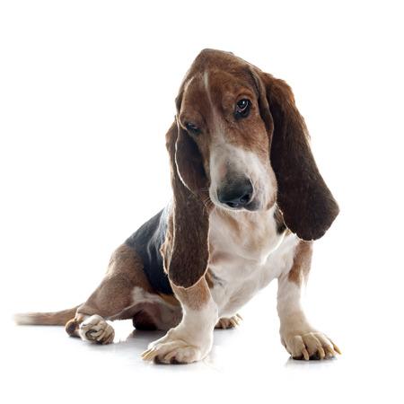 bloodhound: basset hound in front of white background