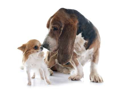 bloodhound: basset hound and chihuahua in front of white background