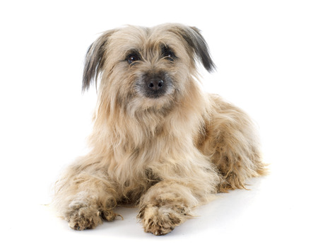 pyrenean: Pyrenean Shepherd in front of white background