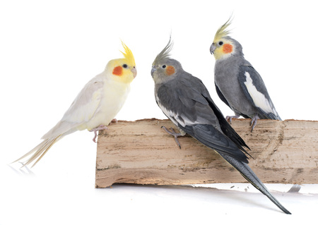 young Cockatiel in front of white background