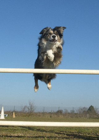 jumping border collie in a training of agility photo