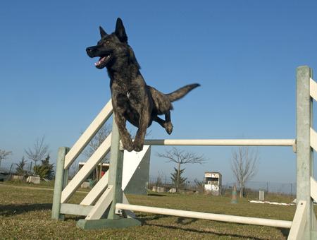 민첩성 훈련에서 점프 네덜란드 양치기 개 스톡 콘텐츠