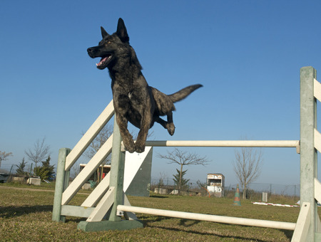 jumping Dutch Shepherd Dog in a training of agility