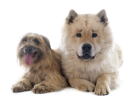 pyrenean: Pyrenean Shepherd and eurasier in front of white background