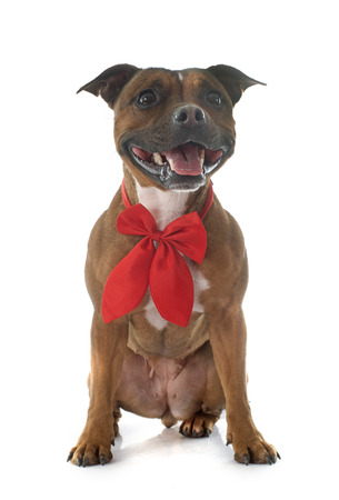 staffordshire: Staffordshire bull terrier in front of white background