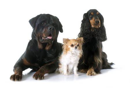 hunting cocker spaniel: cocker spaniel, rottweiler and chihuahua  in front of white background Stock Photo