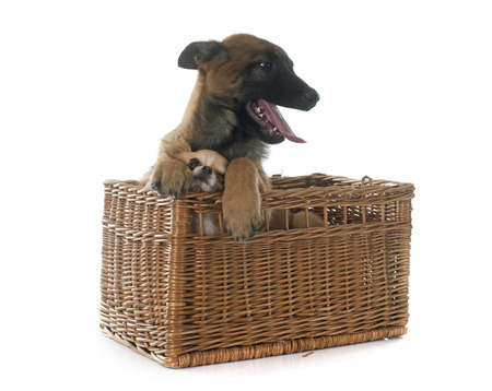 sheepdogs: puppy malinois and chihuahua in front of white background