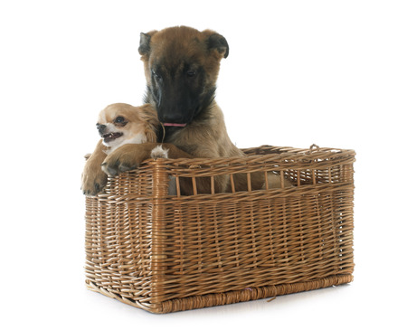 puppy malinois and chihuahua in front of white background photo