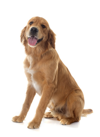 golden retriever: young golden retriever in front of white background