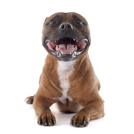 pitbull: Staffordshire bull terrier in front of white background