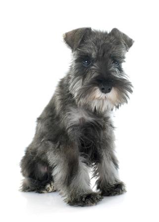 schnauzer: puppy Miniature Schnauzer in front of white background