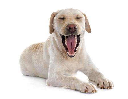 labrador teeth: labrador retriever in front of white background