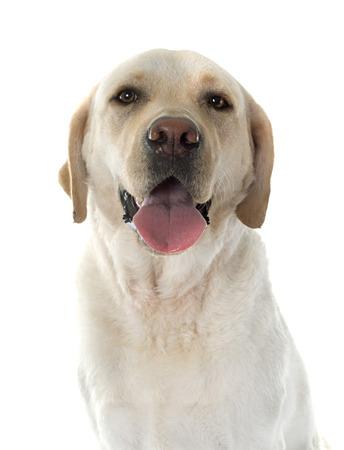 labrador retriever: labrador retriever in front of white background