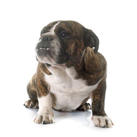 brindle: english bulldog in front of white background Stock Photo