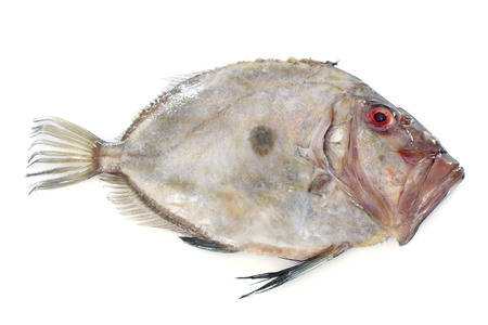 peters: San Pierre Fish in front of white background Stock Photo