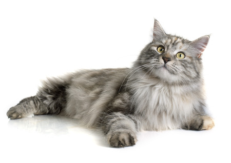 silver hair: maine coon cat in front of white background Stock Photo