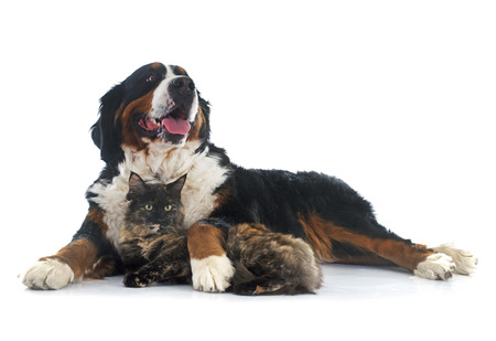 maine coon cat and bernese mountain dog in front of white background photo