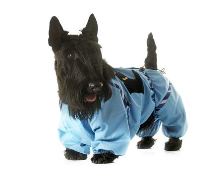 perros vestidos: terrier escocés vestido delante de fondo blanco