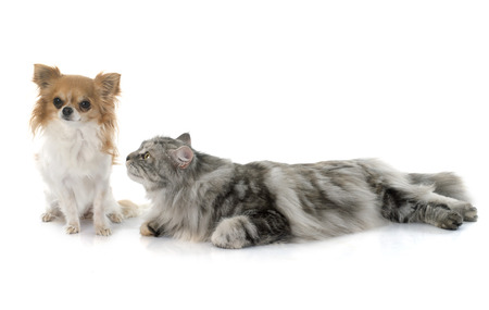 maine coon cat in front of white background photo