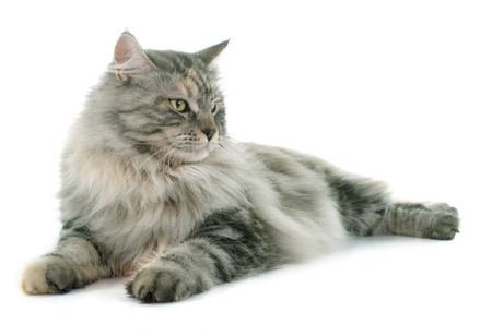 maine coon cat in front of white background Stock Photo