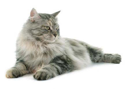 maine coon kat voor witte achtergrond Stockfoto
