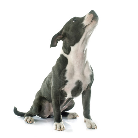 staffordshire: puppy staffordshire bull terrier in front of white background