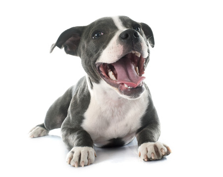 bull terrier: puppy staffordshire bull terrier in front of white background