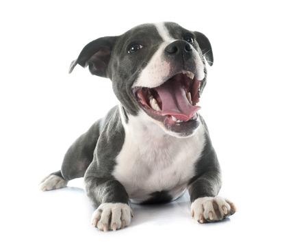 puppy Staffordshire Bull Terrier voor een witte achtergrond