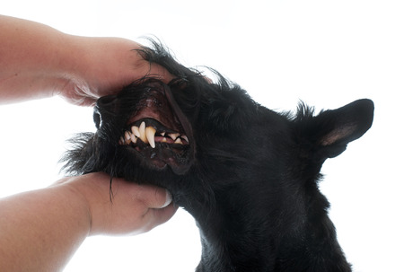 teeth of scottish terrier in front of white background photo
