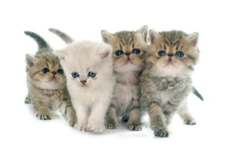 kitten exotische korthaar voor een witte achtergrond