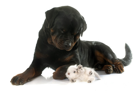 rottweiler and kitten exotic shorthair in front of white background photo