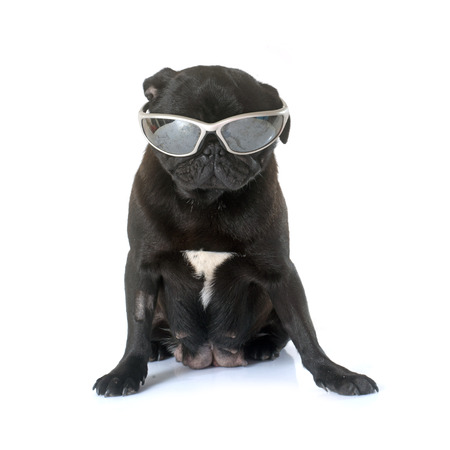 carlin: black pug in front of white background