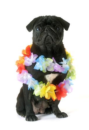 black pug: black pug in front of white background