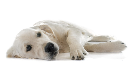 young golden retriever in front of white background photo