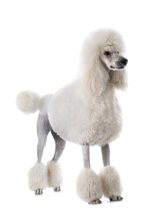 standard poodle: white Standard Poodle in front of white background