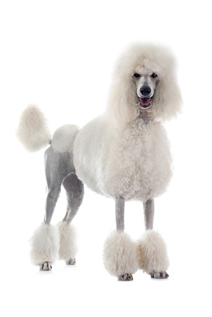 grooming: white Standard Poodle in front of white background
