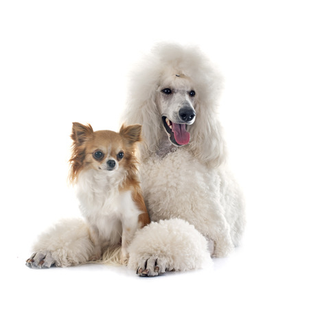 standard poodle: white Standard Poodle and chihuahua in front of white background