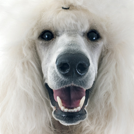 animal hair: white Standard Poodle in front of white background