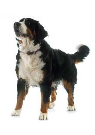 bernese: portrait of a purebred bernese mountain dog in front of white background Stock Photo